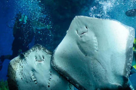 underside: Underside of a Southern Stingray from the Bahamas.