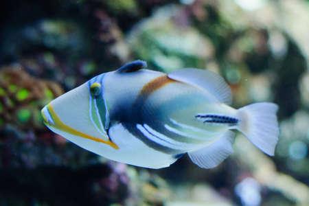 triggerfish: Beautiful alone Picasso or Humu humu Trigger fish Stock Photo