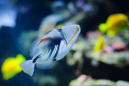 trigger fish: Beautiful alone Picasso or Humu humu Trigger fish Stock Photo