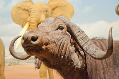 antagonistic: African buffalo closed up. Stock Photo