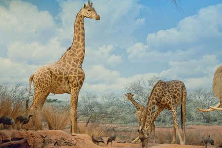 Baby giraffe Stock Photo