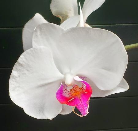 orchidaceae: White orchid
