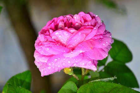 flourished: Pink rose, flourished magnificently and sometimes covered in early morning dew. Stock Photo