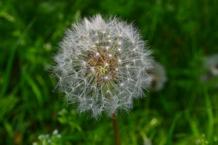 disperse: Dandelion - ripe and will soon disperse seeds.