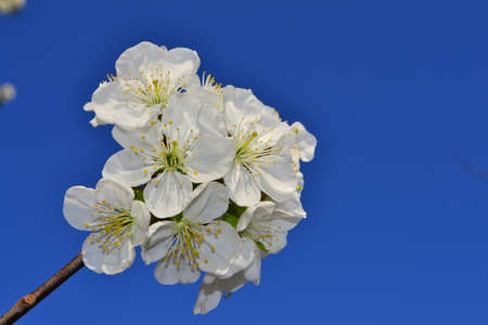 springtime: Cherry blossoms, springtime Stock Photo