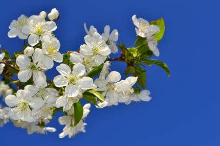 springtime: Cherry blossoms, springtime!