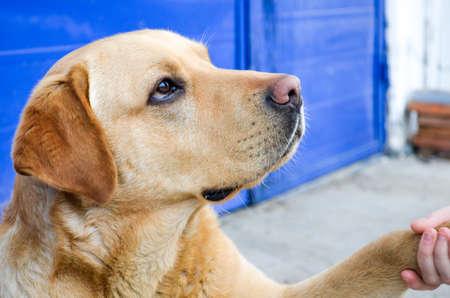 perro labrador: Pata de perro y de una mano haciendo un apretón de manos Foto de archivo