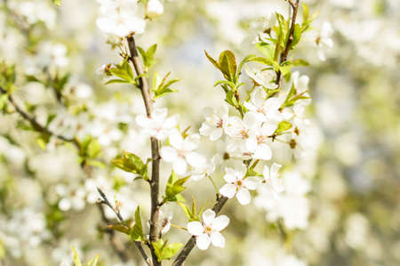 White  Spring Blossoms photo