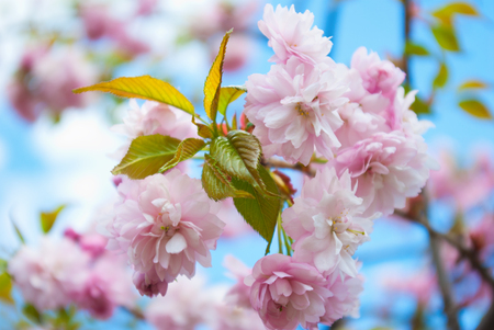unfold: Sakura tree blossoms in spring against a blue sky