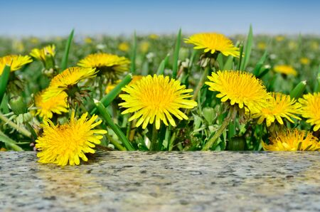 pubescent: Yellow flowers dandelions among green grass on a lawn