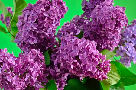 lamiales: The branches of the young, blossoming lilac closeup