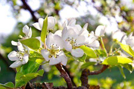 """arboles frutales: """"Las ramas en flor de los árboles en el bosque"""""""