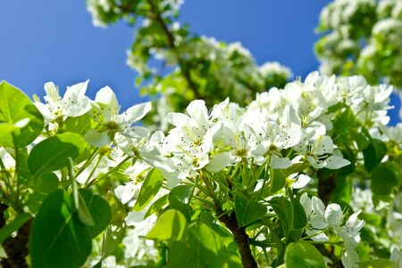 unfold: The blossoming branches of trees in the forest on the background of the blue sky
