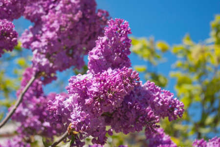 unfold: Blooming lilac bushes against the clear blue sky in spring.