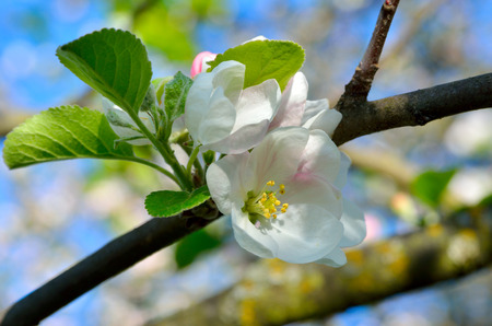 unfold: Young apple-tree flowers in the spring garden