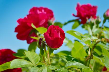 incarnadine: Red rose bloom in garden on background of blue sky