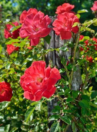 vermeil: Large, red roses in bloom in the garden Stock Photo
