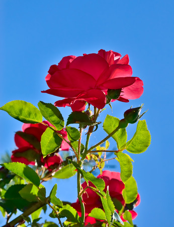 vermeil: Red rose bloom in garden on background of blue sky