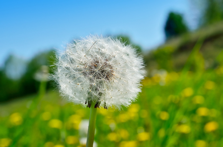 pubescent: Fluffy dandelions growing on a green meadow