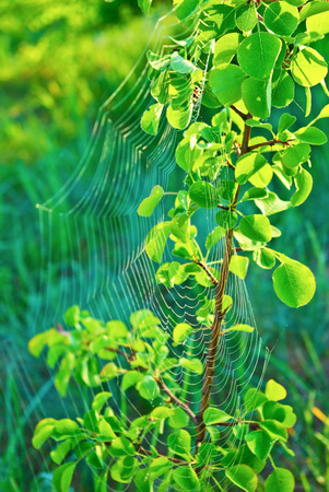 cobwebs: Cobwebs on the young Apple tree in the forest. Stock Photo