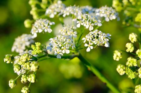 cicuta: Flores cicuta venenosa entre las hojas verdes en el jardín