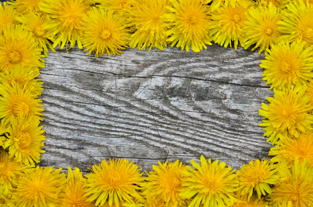 uncouth: Framing of blooming dandelions on a wooden background