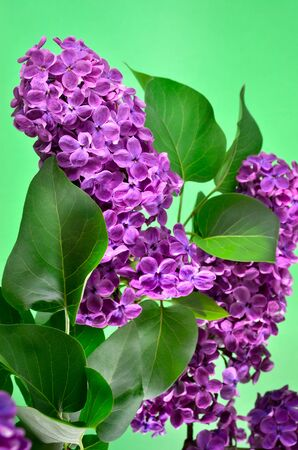 unfold: The branches of the young, blossoming lilac closeup