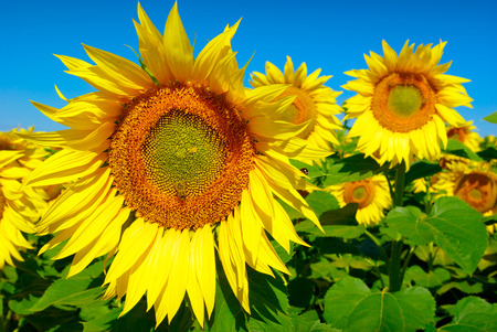 fruition: Yellow sunflowers growing in a field under a blue sky