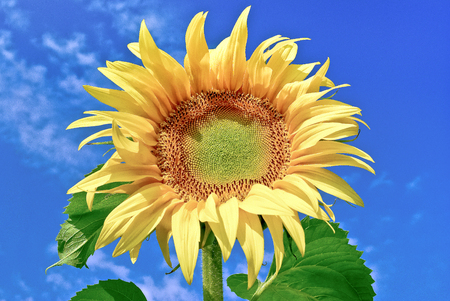 fruition: Young,ripe sunflower on the background of  blue sky.