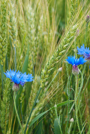 agronomic: Blue cornflower in the field among the ears of cereal