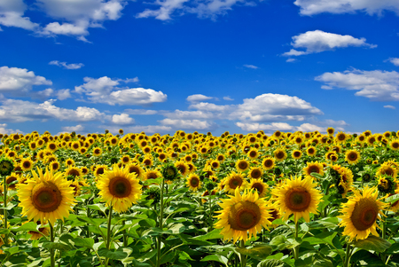 fruition: Field of sunflowers,on the background of blue sky. Stock Photo
