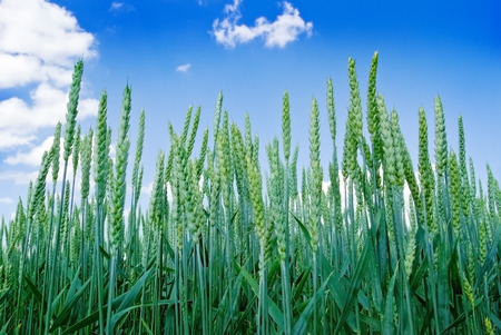 barley head: Green ears of wheat on the blue sky background.