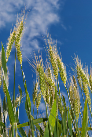 agronomic: Young ears of grain on the background of blue sky Stock Photo