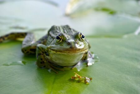 limnetic: Big green frog sitting on a green leaf lily