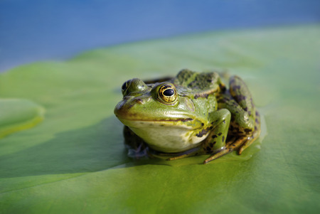 anuran: Big green frog sitting on a green leaf lily
