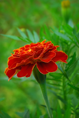 patula: Large marigold flowers growing on a green flower bed