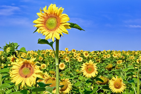 fruition: Ripe,young sunflowers on the blue sky background.