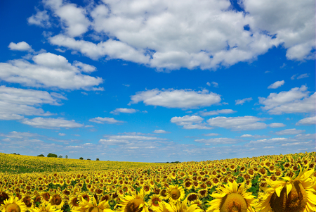 nat: Yellow sunflowers growing in a field under a blue sky