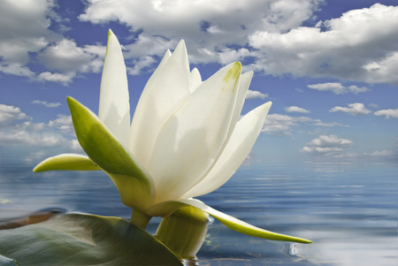 green algae: White water lily blossom among green algae in the lake. Stock Photo
