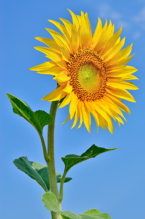 fruition: Ripe, young sunflower blooming against the blue sky