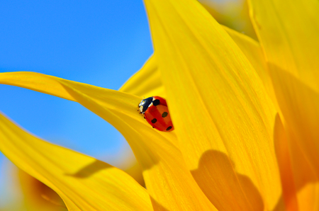 Ladybird crawling on a yellow sunflower petals young