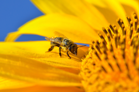 honeybee: Honeybee collects nectar on the flowers of a sunflower
