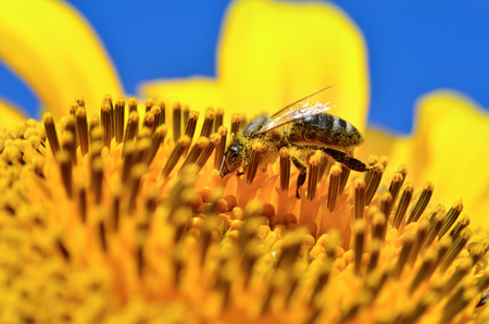 fruition: Honeybee collects nectar on the flowers of a sunflower