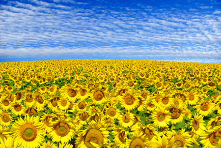 fruition: Blooming field  sunflowers on a background of blue sky.