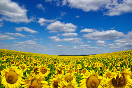 fruition: Valley of sunflowers on a background of blue sky. Stock Photo