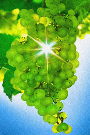vineyard sunset: Rays of sun shining in a bunch of grapes on background of blue sky.