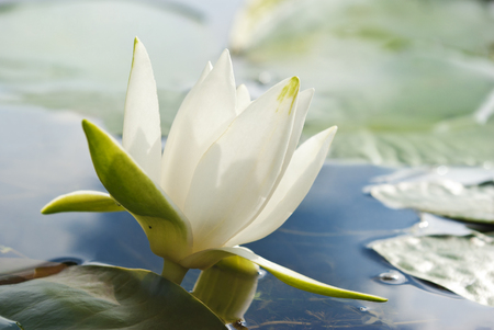 White water lily blossom among green algae in the lake. Stock Photo