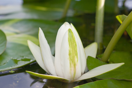 wrack: White lily blooming lake on the background of green leaves