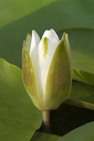 wrack: White water lily blossom among green algae in the lake. Stock Photo