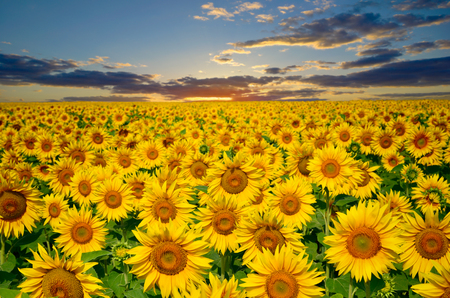 fruition: Large field of sunflowers on a background sunset sun Stock Photo